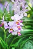 Série de ` de Mlle Joaquim de ` de Vanda d'orchidée photographie stock libre de droits