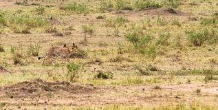 Série de photo : Chasse de guépard pour le grand impala Le deuxième épisode Masai Mara, Kenya Image libre de droits