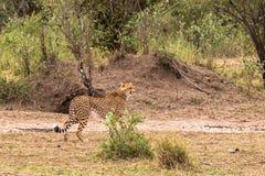 Série de photo : Chasse de guépard pour le grand impala Le douzième épisode Masai Mara, Kenya Photo stock