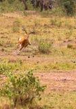 Série de photo : Chasse de guépard pour le grand impala Le huitième épisode Masai Mara, Kenya Image libre de droits