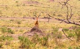 Série de photo : Chasse de guépard pour le grand impala Le premier épisode Masai Mara, Kenya Image stock