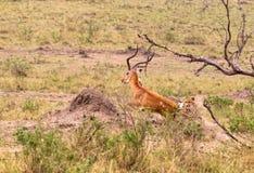 Série de photo : Chasse de guépard pour le grand impala Le sixième épisode Masai Mara, Kenya Images libres de droits