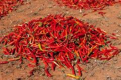 Série de séchage de piment rouge au champ dedans Image stock