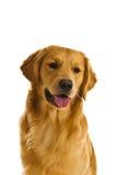 Série do Retriever dourado (Canis Fotos de Stock