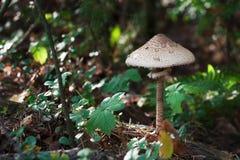 Série dos cogumelos: Cogumelo de parasol (procera de Macrolepiota) Fotos de Stock