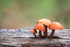 Série dos cogumelos: Enokitake (cogumelos de inverno, pé de veludo, velv Fotos de Stock Royalty Free