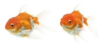 Série extravagante do Goldfish Imagens de Stock