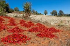 Séries de séchage de piment rouge au champ dedans Image stock