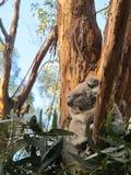 Sério-olhando a coala Fotos de Stock Royalty Free