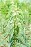 Sésame une usine herbacée annuelle grande photo stock