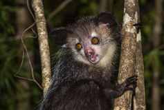 Sì-sì, lemure notturne del Madagascar Fotografie Stock Libere da Diritti