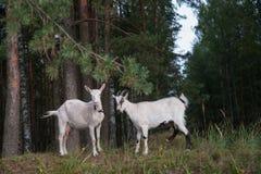 Símbolo de la año-cabra Fotografía de archivo libre de regalías