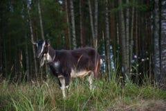 Símbolo de la año-cabra Imagen de archivo