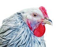 Símbolo del gallo Foto de archivo libre de regalías