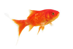 Símbolo do peixe dourado da riqueza em um fundo branco Fotografia de Stock Royalty Free