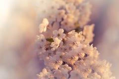 Símbolo hermoso de la flor de cerezo del tiempo de la estación de primavera Fotografía de archivo libre de regalías