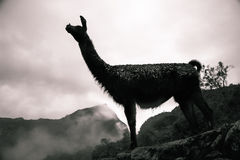 Símbolo peruano, la llama fotos de archivo
