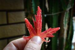 Símbolo rojo de la hoja de la caída Fotografía de archivo libre de regalías