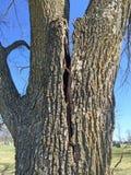 Síntomas de un árbol fallado: Grietas imagenes de archivo