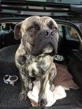 Söder - afrikansk mastiffhund royaltyfria bilder