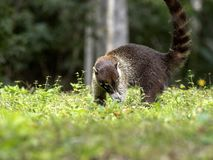 Söder - amerikansk coati, Nasuanasua som söker efter mat i rainforesten, Guatemala royaltyfria foton
