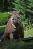 Söderna - amerikanska tapirTapirusterrestris Royaltyfri Fotografi