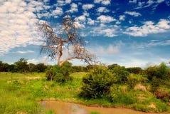 södra africa afrikansk botswana savannah Arkivfoto