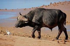 södra africa afrikansk buffelbul Fotografering för Bildbyråer