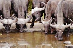 södra africa buffel royaltyfria foton