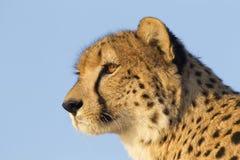 södra africa cheetah Royaltyfri Bild