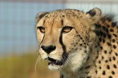 södra africa cheetah Arkivfoto