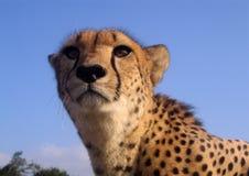 södra africa cheetah Arkivbilder