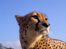 södra africa cheetah Royaltyfri Foto