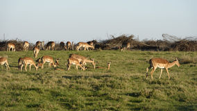 södra africa impala Arkivfoto