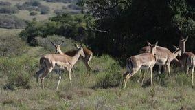 södra africa impala Fotografering för Bildbyråer