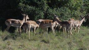 södra africa impala Arkivfoton