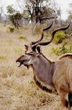 södra africa kudu royaltyfri foto