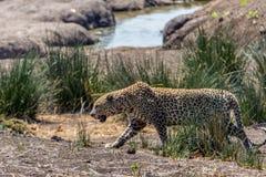 södra africa leopard royaltyfri foto