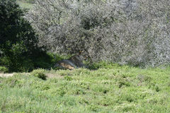 södra africa lion Royaltyfria Foton