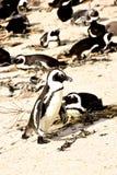 södra africa pingvin Royaltyfri Fotografi