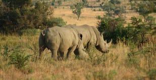 södra africa rhinos Royaltyfri Fotografi