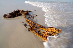 södra africa strandkelp Royaltyfri Bild
