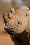 södra africa svart noshörning arkivfoto