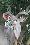 Södra - afrikan Kudu arkivbild