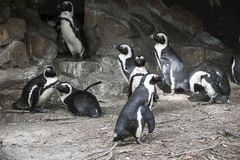Södra - afrikan Pinguins med en stenig bakgrund Arkivbild