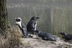 Södra - afrikan Pinguins på sjön Royaltyfri Foto