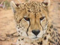 Södra - afrikansk cheetah Arkivfoto
