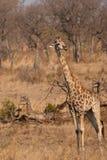 Södra - afrikansk giraff Royaltyfria Bilder