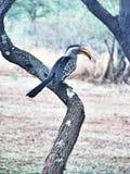 Södra - afrikansk Hornbill Royaltyfri Foto