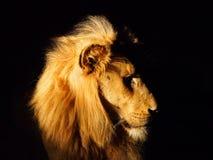 södra afrikansk lion Arkivfoto